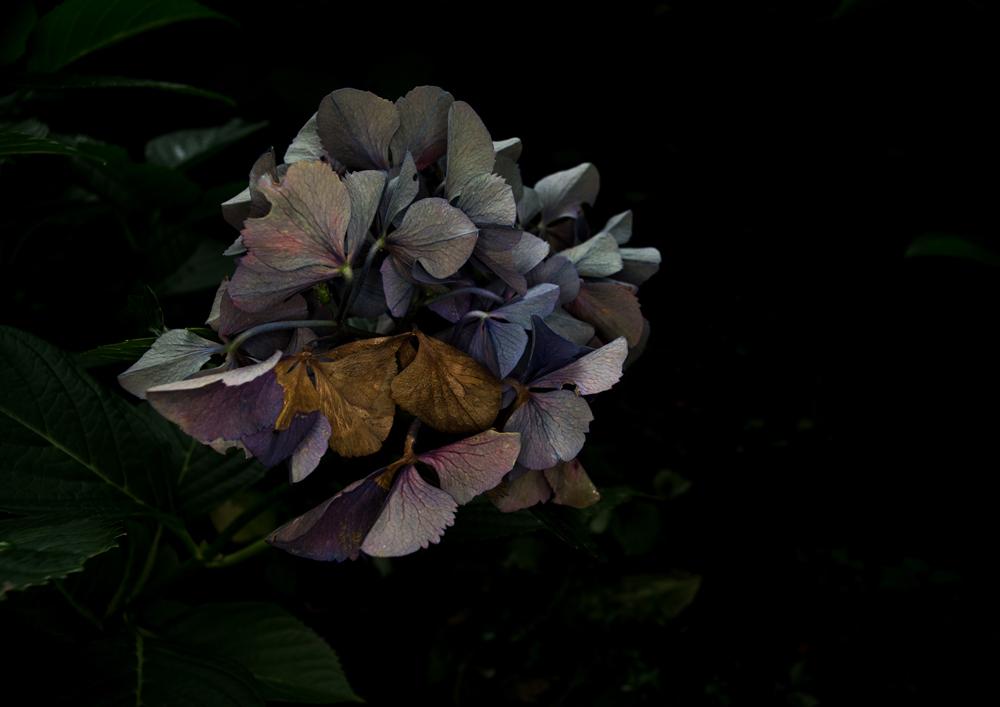 07_枯れ紫陽花2