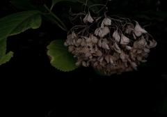13_枯れ紫陽花